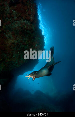 A young California sealion (Zalophus californianus) playing with a starfish, inside an underwater cave. The pups - Stock Photo