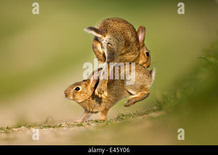 Two European Rabbit (Oryctolagus cuniculus) young playing and jumping. UK, August. - Stock Photo