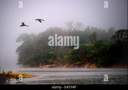 A pair of Toco Toucans (Ramphastos toco) flying across the Piquiri River at dawn, northern Pantanal, Mato Grosso, - Stock Photo