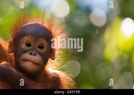 Orang utan baby (Pongo pygmaeus) head portrait of baby, Semengoh Nature reserve, Sarawak, Borneo, Malaysia. Endangered. - Stock Photo