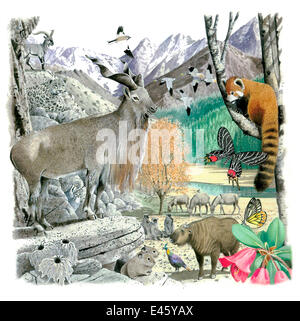 Illustration of Asian wildlife: Red panda (Ailurus fulgens) - endangered / threatened species; Snow leopard (Panthera - Stock Photo