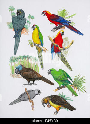Illustration of extinct parrots. Clockwise from top right: Cuban red macaw (Ara tricolor) - extinct 1864, Cuba, - Stock Photo