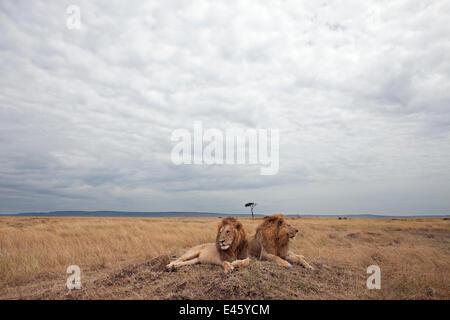 Lion males (Panthera leo) lying on a grass mound. Masai Mara National Reserve, Kenya, August 2009 - Stock Photo