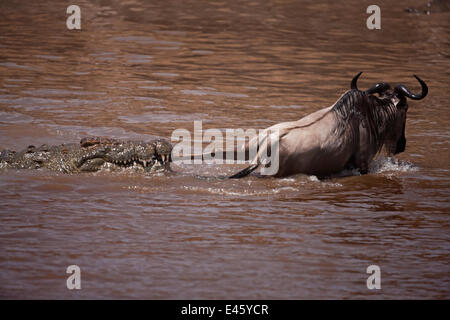 Nile crocodile (Crocodylus niloticus) attacking a Wildebeest (Connochaetes taurinus) as it crosses the Mara River. - Stock Photo