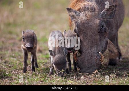 Warthog female (Phacochoerus africanus) feeding with piglets. Masai Mara National Reserve, Kenya, October 2009 - Stock Photo
