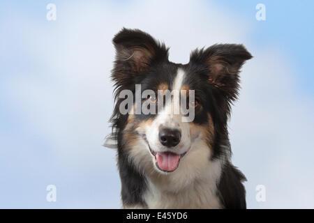 Border collie, head portrait, Norfolk, UK, May - Stock Photo