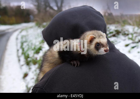 Domestic ferret (Mustela putorius furo)  being taken out for a walk in winter, Southrepps, Norfolk, UK, November - Stock Photo