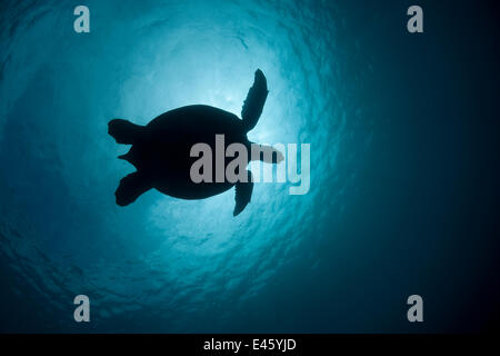 Green turtle (Chelonia mydas) silhouetted against the sun. Sipadan Island, Semporna, Sabah, Malaysia, June - Stock Photo