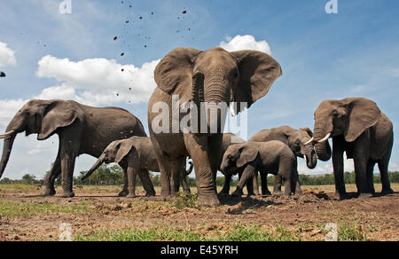 African elephant herd (Loxodonta africana) spraying mud with trunk, Masai Mara National Reserve, Kenya. December - Stock Photo