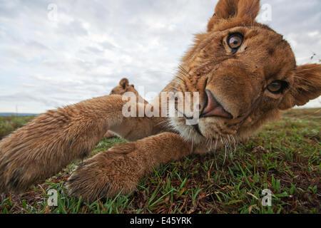 African Lion (Panthera leo) head portrait of juvenile male, relaxing playfully, Masai Mara National Reserve, Kenya. - Stock Photo