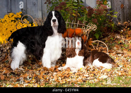 Pair of English Springer Spaniels, one black and white, one liver and white, amongst autumn leaves with pumpkins - Stock Photo