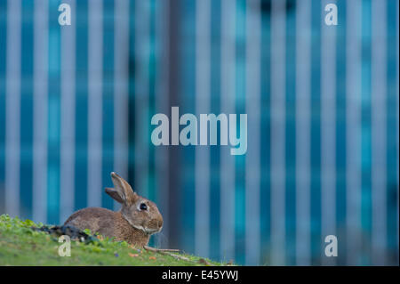 Rabbit (Oryctolagus cuniculus) sitting on grass in a Paris park. France. - Stock Photo