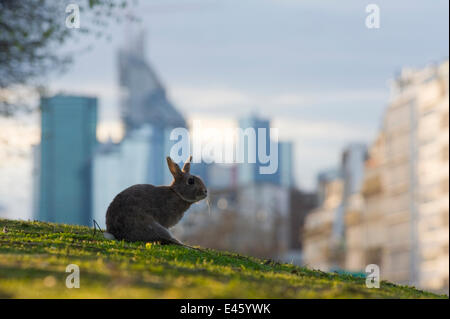 Rabbit (Oryctolagus cuniculus) sitting on grass in a Paris park with buildings behind. France. - Stock Photo