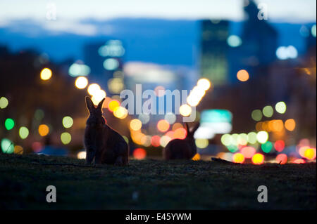 Rabbits (Oryctolagus cuniculus) in a Paris park at dusk. France. - Stock Photo