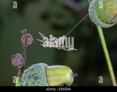 Jumping Spider (Marpissa mucosa) female leaping from acorn to acorn, using silk as a safety line. Surrey, UK, September. - Stock Photo
