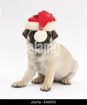 Fawn Pug puppy, 8 weeks, wearing a Father Christmas hat. - Stock Photo