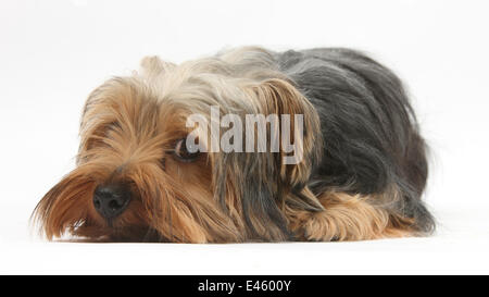 Yorkshire Terrier, lying with chin on the floor. - Stock Photo