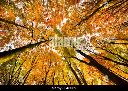 Looking up at Beech wood canopy (Fagus sylvatica) in autumn, Peak District National Park, Derbyshire, UK, November - Stock Photo