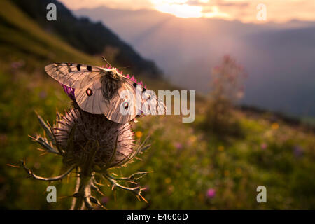 Apollo butterfly (Parnassius apollo) on thistle head in alpine meadow. Nordtirol, Austrian Alps. - Stock Photo