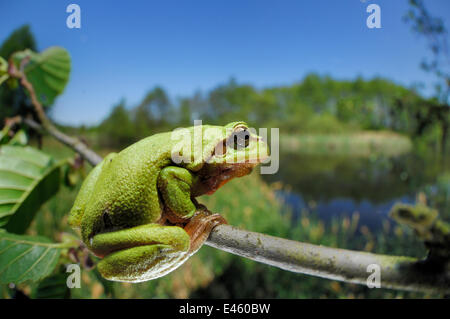 European tree frog (Hyla arborea) on tree branch, with lake behind, Germany - Stock Photo