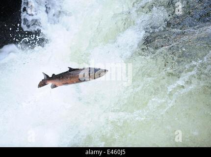 Atlantic salmon (Salmo salar) moving upriver to spawn. Lligwy River nr Betws y Coed, Gwynedd, North Wales, UK, November - Stock Photo