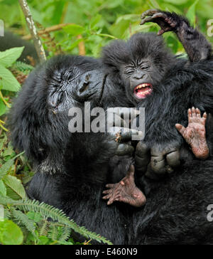 Mountain Gorilla (Gorilla beringei) adult playing with an infant. Rwanda, Africa - Stock Photo