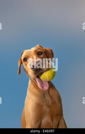 Yellow Labrador with ball in its mouth against blue sky. - Stock Photo