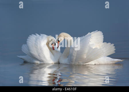 Two male Mute swans (Cygnus olor) displaying on water in territorial dispute, UK - Stock Photo