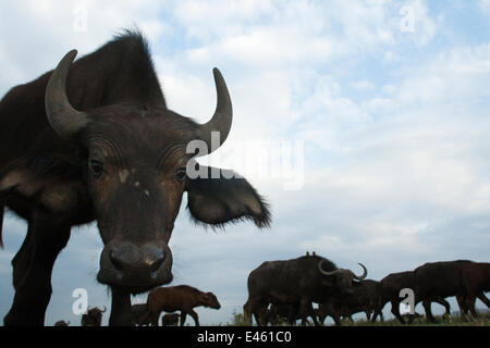 Cape / African Buffalo (Syncerus caffer) approaching with curiosity, herd in the background, wide angle perspective, - Stock Photo