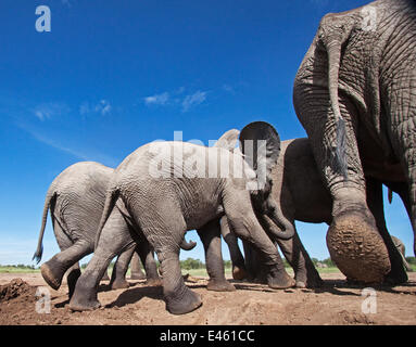 African elephant (Loxodonta africana) group leaving a waterhole - wide angle perspective. Masai Mara National Reserve, - Stock Photo
