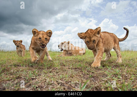 African lion (Panthera leo) cubs aged 6-9 months approaching with curiosity watched by their mother, Masai Mara - Stock Photo