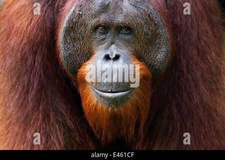 Bornean Orangutan (Pongo pygmaeus wurmbii) young mature male 'Gary' aged 16 years portrait. Camp Leakey, Tanjung - Stock Photo