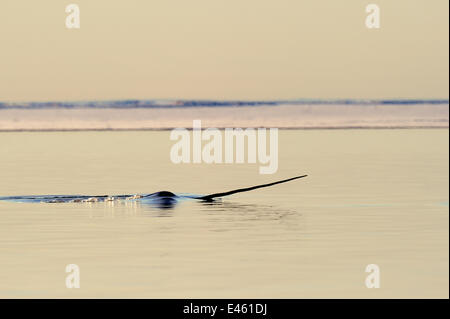 Narwhal (Monodon monoceros) showing tusk above water surface. Baffin Island, Nunavut, Canada, April. - Stock Photo