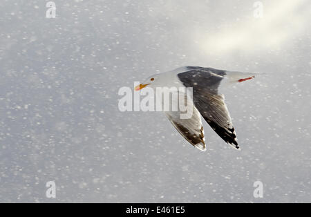 Herring Gull (Larus argentatus) flying in snow Norway, March. - Stock Photo