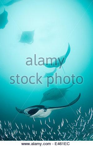 Reef manta rays (Manta birostris / alfredi) filter feeding on plankton among Silverside fish that are also feeding - Stock Photo