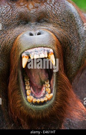 Bornean Orang-utan (Pongo pygmaeus wurmbii) mature male 'Tom' yawning head portrait. Camp Leakey, Tanjung Puting - Stock Photo