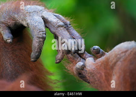 Bornean Orang-utan (Pongo pygmaeus wurmbii) female 'Siswi's' hand holding foot close-up. Camp Leakey, Tanjung Puting - Stock Photo