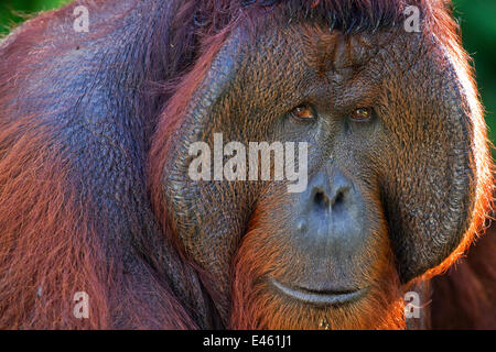 Bornean Orang-utan (Pongo pygmaeus wurmbii) mature male 'Tom' head and shoulders portrait. Camp Leakey, Tanjung - Stock Photo