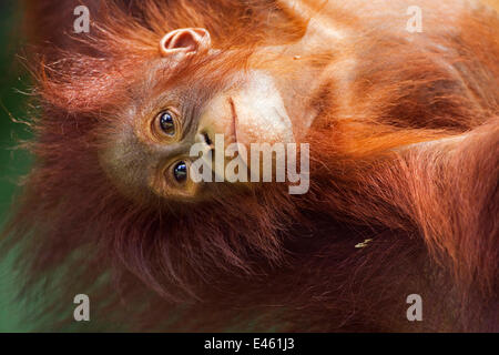 Bornean Orang-utan (Pongo pygmaeus wurmbii) female baby 'Petra' aged 12 months hanging upside down from her mother. - Stock Photo