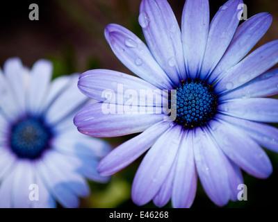 A blue-eyed daisy (Osteospermum flower), also known as an African daisy, South African daisy and Cape daisy.  Edmonton, - Stock Photo