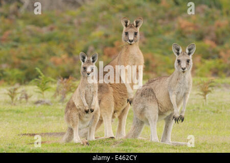 Eastern grey kangaroo (Macropus giganteus) family group, male, female and large joey, Tasmania, Australia, February - Stock Photo