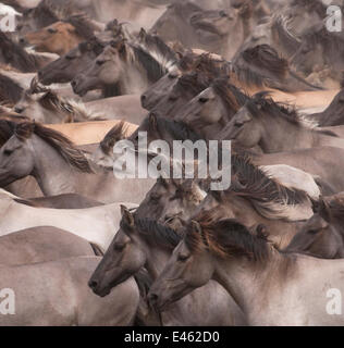 Wild / feral Dulmen ponies (Equus caballus) close up of herd of mares and foals running on the Duke of Croy's estate, - Stock Photo