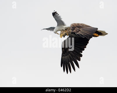 White-tailed Sea Eagle (Haliaeetus albicilla) being attacked by a Common Gull (Larus canus) in flight. Norway, July. - Stock Photo