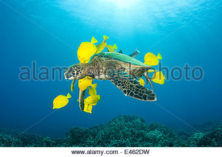 Green sea turtle (Chelonia mydas) being cleaned of algae by Yellow tangs / surgeonfish (Zebrasoma flavescens), Puako, - Stock Photo
