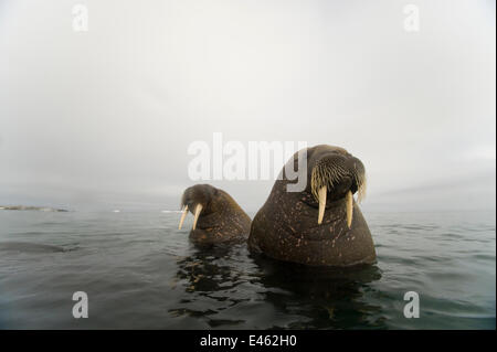 Walrus (Odobenus rosmarus) two young bulls, in waters along Spitsbergen and the northwestern coast of the Svalbard - Stock Photo