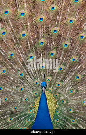 Male Indian peafowl (Pavo cristatus) displaying, captive - Stock Photo