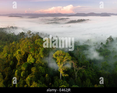 Mist and low cloud hanging over lowland rainforest, just after sunrise, with Menggaris Tree (Koompassia excelsa) - Stock Photo