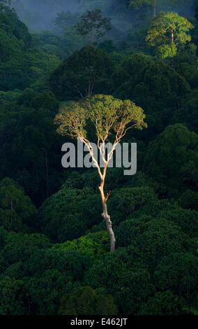 Emergent Menggaris Tree / Tualang (Koompassia excelsa) protruding the canopy of lowland rainforest. Danum Valley, - Stock Photo