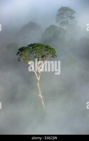 Emergent Menggaris Tree / Tualang (Koompassia excelsa) protruding from mist and low cloud hanging over lowland rainforest. - Stock Photo