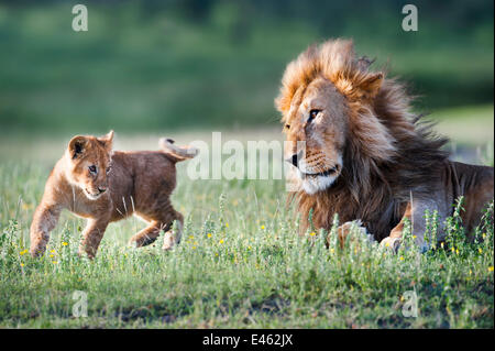 Male African Lion (Panthera leo) playing with 4 month cub. Big Marsh, near Ndutu, Nogorongoro Conservation Area, - Stock Photo